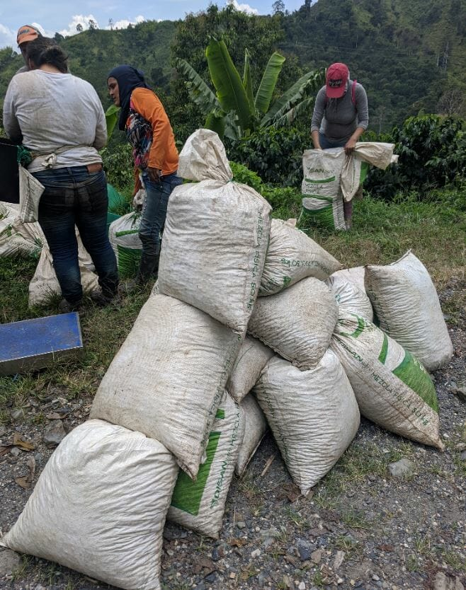 Coffee pickers in Manizales, Colombia weighing the cherries picked in one morning.